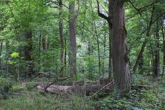 Naturalny mieszany stojak Bialowieza las obraz royalty free