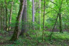 Naturalny mieszany stojak Bialowieza las obrazy royalty free