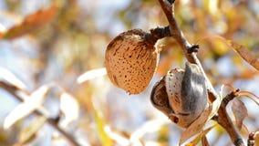 Naturalny migdał w gałąź migdałowy drzewo zbiory