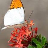 Naturalny motyl w Tajlandia Fotografia Royalty Free