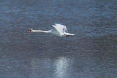 Naturalny niemego łabędź cygnus olor podczas lota nad wody powierzchnią Obrazy Royalty Free