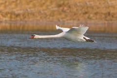 Naturalny niemego łabędź cygnus olor podczas lota nad wody powierzchnią Fotografia Royalty Free