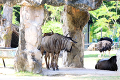 Naturalny otwarty zoo widzieć zwierzęcego życie Obrazy Stock