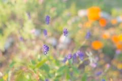 Naturalny pastel barwiący tło, lawendowy kwiat Zdjęcie Royalty Free