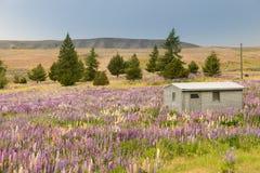 Naturalny pełnego kwiatu łubinowy kwiat, lato sezon Nowa Zelandia Obraz Stock
