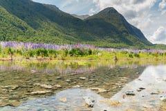 Naturalny pełnego kwiatu łubinowy kwiat z odbicia i góry tłem, Nowa Zelandia Obraz Royalty Free