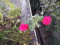 Naturalny piękno róży roślina zdjęcia stock
