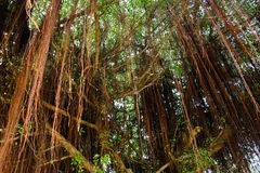 Naturalny piękny poniższy banyan drzewo obraz royalty free