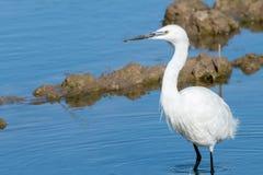 Naturalny portret bielu egret ardea alba przedpole w naturalnym parku Albufera, Walencja, Hiszpania, Europa zdjęcie stock