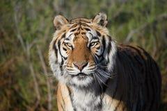 Naturalny portret tygrys gapi się przy kamerą obraz royalty free