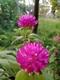 Naturalny różowy kwiat Srilanka zdjęcia royalty free