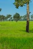 Naturalny ryżu pole Obrazy Royalty Free