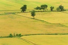 Naturalny ryżu pole Zdjęcia Royalty Free