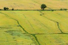 Naturalny ryżu pole Fotografia Stock