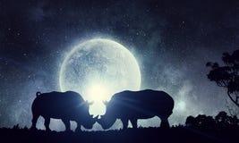 Naturalny safari krajobraz i walczący rhinos Zdjęcie Stock