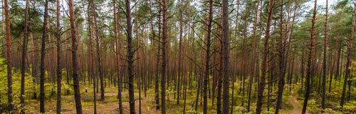 Naturalny Sosnowy las. Obrazy Royalty Free
