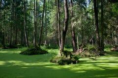 Naturalny stojak Bialowieza las z trwanie wodą i Pospolitym Duckweed obraz royalty free