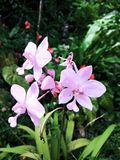 Naturalny Storczykowy kwiat Srilanka obraz royalty free