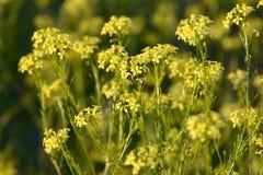 Naturalny tło żółci kwiaty Fotografia Stock