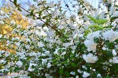 Naturalny tło Biali kwiaty obraz royalty free