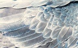 Naturalny tło czerep skrzydłowi piórka papuzi zbliżenie srebny kolor fotografia stock