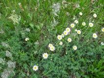Naturalny tło dzika trawa z stokrotkami - odgórny widok przy prawym kątem obrazy stock