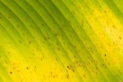 naturalny tło liść bananowy kwiecisty zielony Obrazy Royalty Free