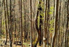 Naturalny tło od drzewnych bagażników, pojęcie naturalne tekstury, podróż w dzikim, przestrzeń dla kopii Obraz Royalty Free