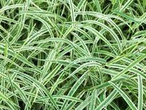 Naturalny tło od mokrych zielonych liści Carex Obraz Stock