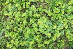 Naturalny tło z jaskrawymi żywymi kolorów żółtych kwiatami i świeżą zieloną trawą Zdjęcia Royalty Free