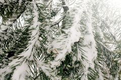 Naturalny tło z sosny gałąź w śniegu, zima jest nadchodzącym pojęciem, kopii przestrzeń obrazy stock