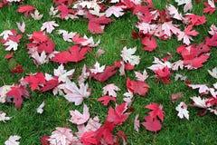 Naturalny t?o z wysuszonymi czerwonymi li??mi klonowymi na zielonej trawie zdjęcia royalty free
