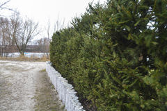 Naturalny utrzymania ogrodzenie drzewa Obraz Royalty Free