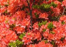 Naturalny widok kolorowy czerwony lelui kwiecenie w ogródzie pod naturalnym światłem słonecznym przy pogodnym lata lub wiosny dni Obraz Stock