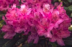 Naturalny widok kolorowy jaskrawy różowy azalii kwiecenie w ogródzie pod naturalnym światłem słonecznym przy pogodnym lata lub wi Zdjęcia Stock