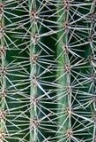 Naturalny wzór cierń kaktusowe rośliny Zdjęcia Royalty Free