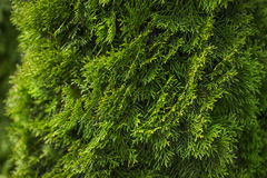 Naturalny zielony iglasty tło Zdjęcia Stock