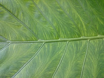 naturalny zielony tło liść Świeży lato lub wiosna wzór H Fotografia Royalty Free