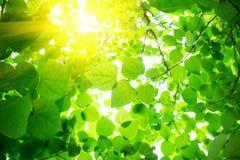 Naturalny zielony tło z liśćmi Obraz Royalty Free