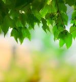 Naturalny zielony winogrono opuszcza nakrycie Obraz Stock