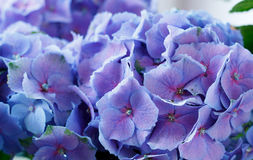 Naturalny ziołowy tło. Błękitny kwiatu zakończenie up Fotografia Stock