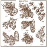 Naturalnych conifers małe gałąź odizolowywali monochromatyczne ilustracje ustawiać ilustracji