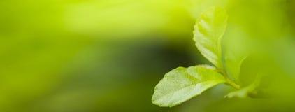 Naturansicht des Grüns verlässt unter der Sonne Natürlicher grüner Baum wir stockbild