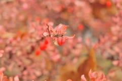 Färgrika apelsin-rosa färg höstbuskar med bär Royaltyfri Bild