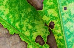 Naturbakgrund av bladtextur Arkivfoton