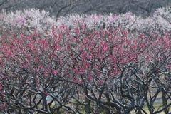 Naturbakgrund av plommonblomningar för japanska rosa färger Arkivbild