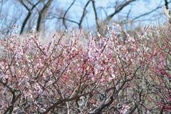 Naturbakgrund av plommonblomningar för japanska rosa färger Arkivbilder