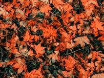 Naturbakgrund av röda lönnlöv Royaltyfria Bilder