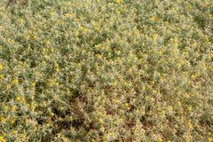 Naturbakgrund från taggväxter med gula blommor Arkivfoto