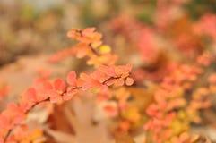 Färgrika guling-rosa färg buskar Royaltyfri Foto